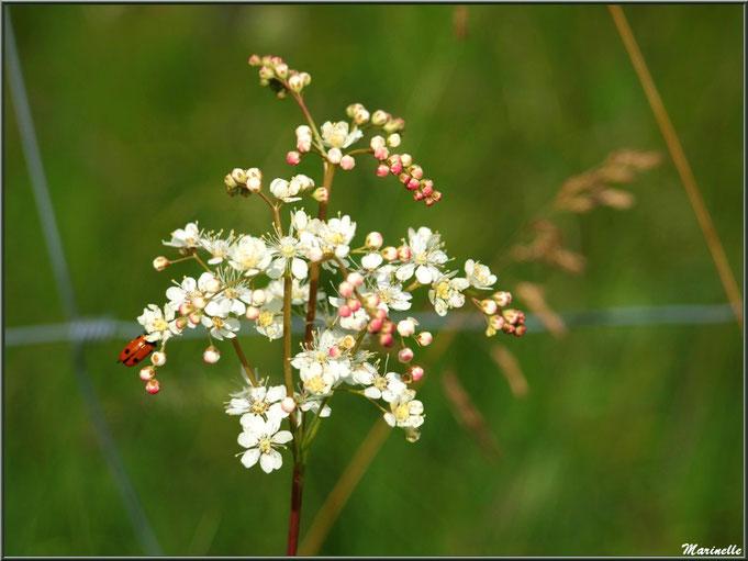 Filipendule commune (avec sa petite coccinelle), flore Bassin d'Arcachon (33)