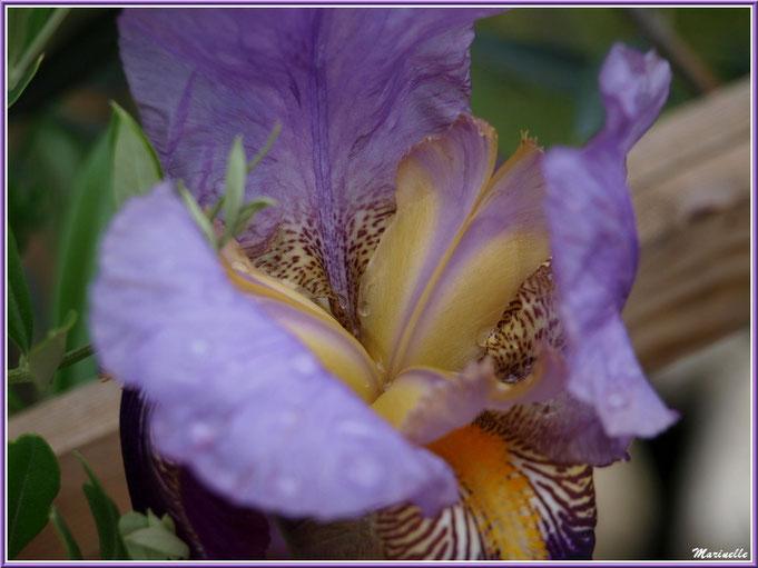 Coeur d'iris mauve et or après ondée