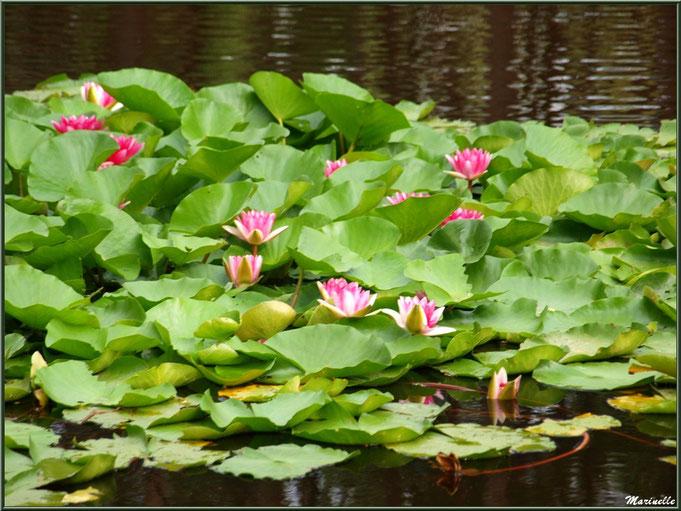 Parterre de Nénuphars roses sur un plan d'eau