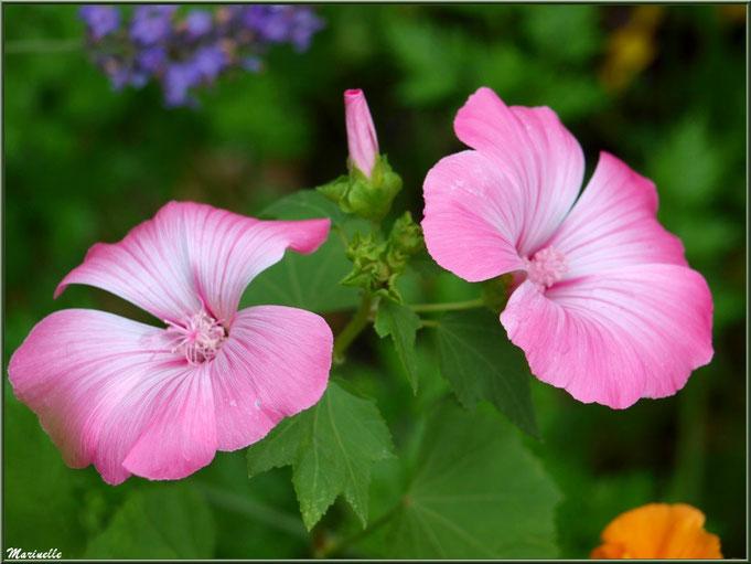 Lavatère rose au jardin