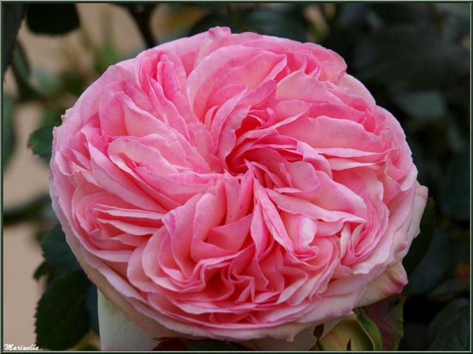 """Rose """"Pierre de Ronsard"""" épanouie, au jardin"""