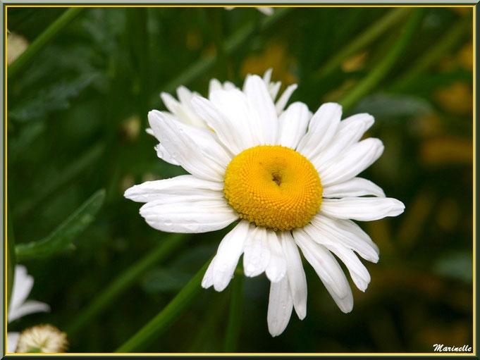 Marguerite au jardin