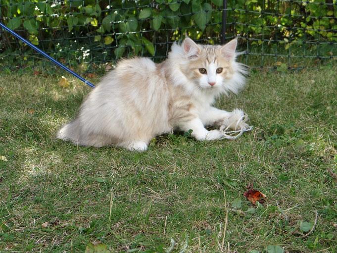 Mika von La-Lea-Lil, Norwegische Waldkatze, ambersilver-tabby/white, 13,5 Wochen alt