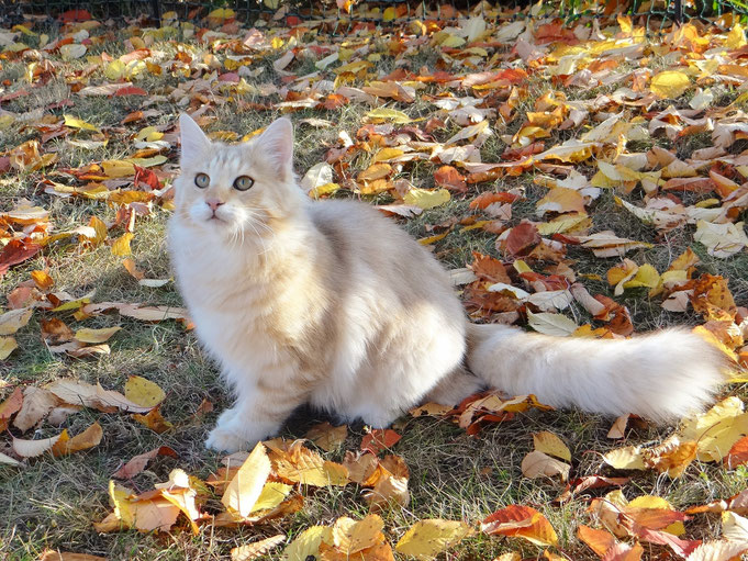 Loreley vom Veitenstein, Norwegische Waldkatze, amber-silver-tabby, 6 Monate alt