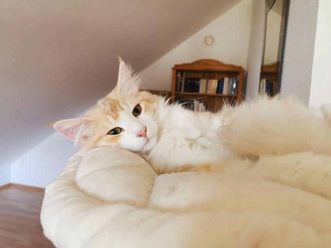 Mika von La-Lea-Lil, Norwegische Waldkatze, ambersilver-tabby-mackerel/white, 13,5 Wochen