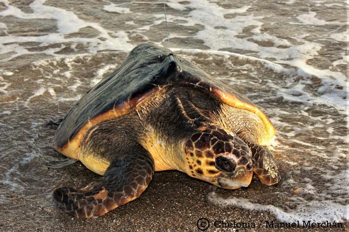 Tortuga boba adulta que arribó a la playa y fue marcada con un transmisor satelital