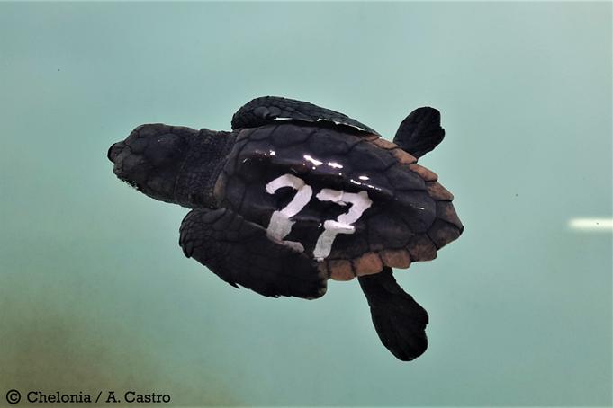 Cría de tortuga boba nadando en superficie