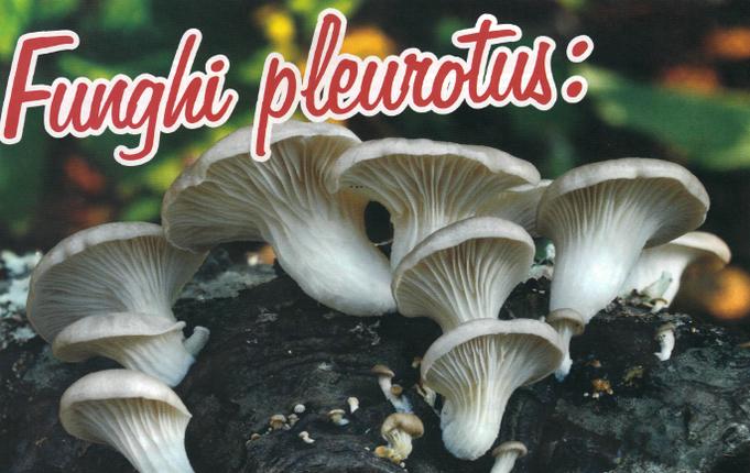 Funghi Pleurotus contro il colesterolo cattivo