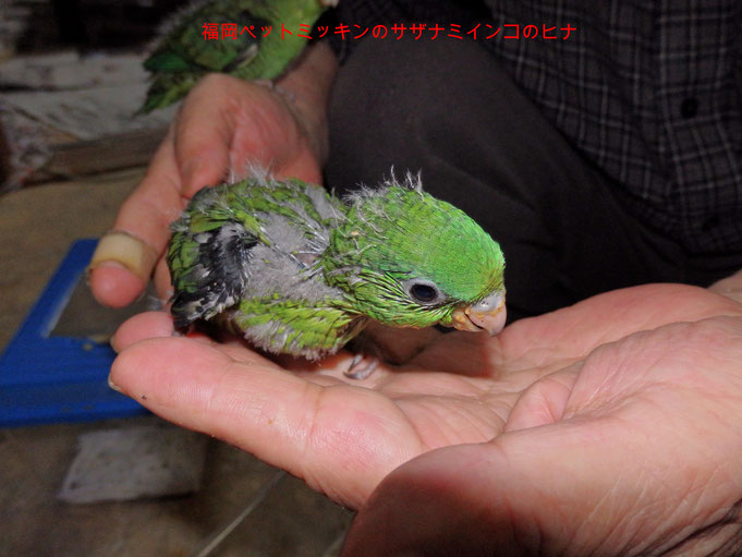福岡県手乗りインコ小鳥販売店ペットミッキン 手乗りサザナミインコはおとなしいインコの代表です。