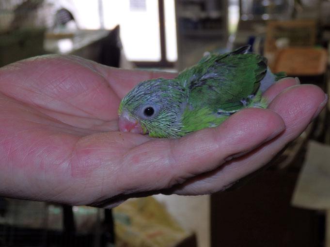 福岡県手乗りインコ小鳥販売店ペットショップミッキン 手乗りマメルリハインコのヒナが仲間入りしました。