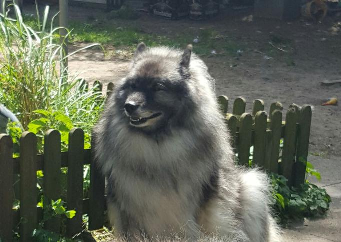 Wolfsspitz Hündin BONNY-BIJOU von der Römerroute