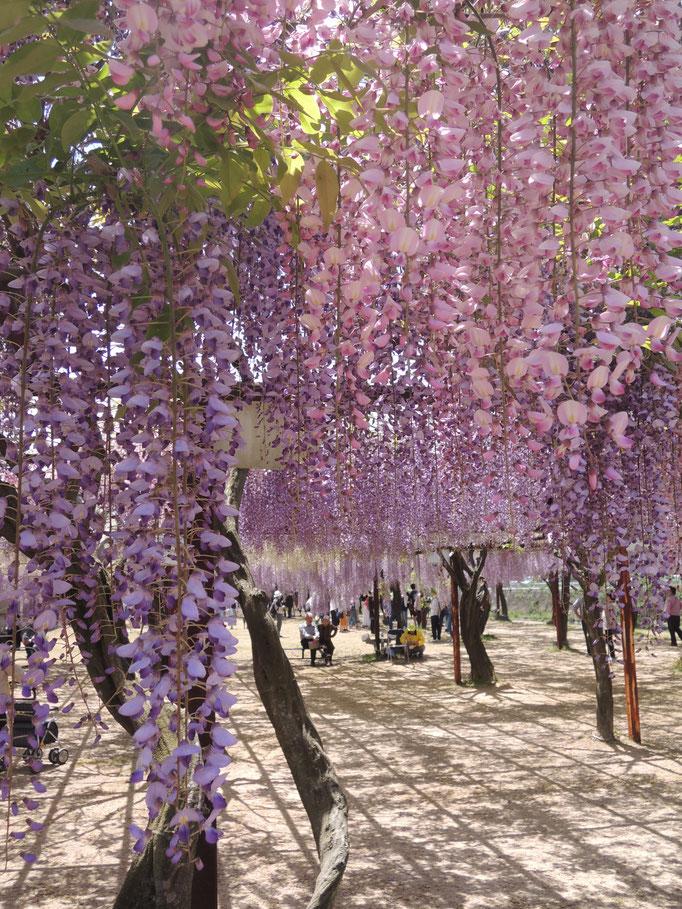 岡山県南、和気町の藤公園。色は紫・ピンク・白、形は手毬状など、様々な種類が。
