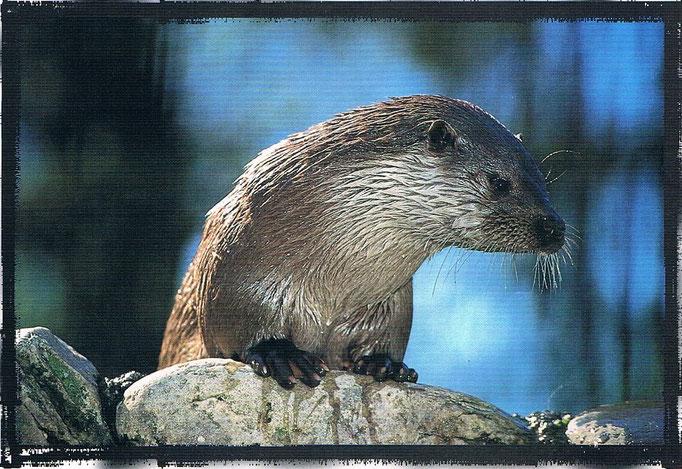 La nutria o llúdria es sin duda uno de los  animales más emblemático del río Bergantes y de otros de la Comunidad Valenciana.
