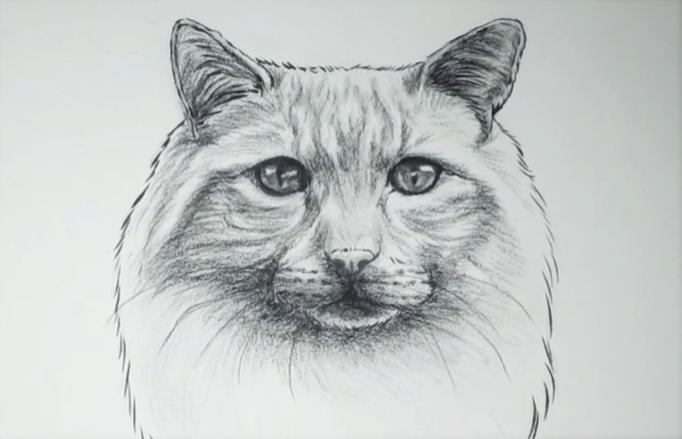 Dessin de chat à poils longs aux crayon gris
