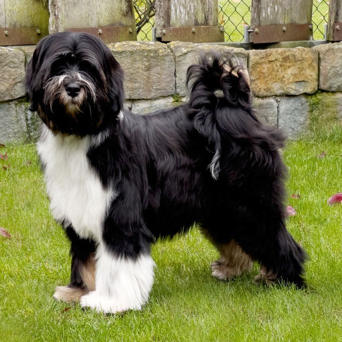 Tibet Terrier_Oelde_NRW