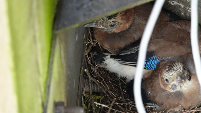 Eichelhäher im Nest