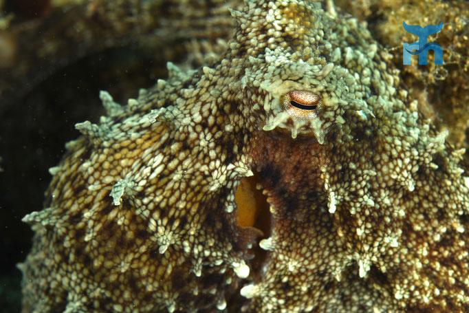 Der Oktopus wagt sich nach einiger Zeit nahe an die Kamera © Robert Hansen
