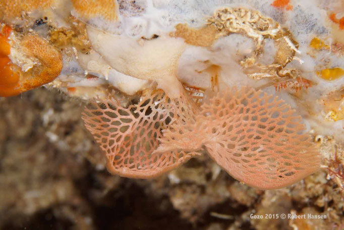 Neptunschleier. Die sehr zerbrechliche Kolonie bevorzugt schattige und strömungsarme Plätze. Aufgenommen in der Grotte unter dem Blue Hole in 17 Metern Tiefe. © Robert Hansen, Gozo 2015