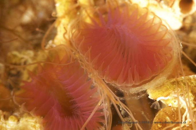 Röhrenwurm (myxicola infundibulum) © Robert Hansen