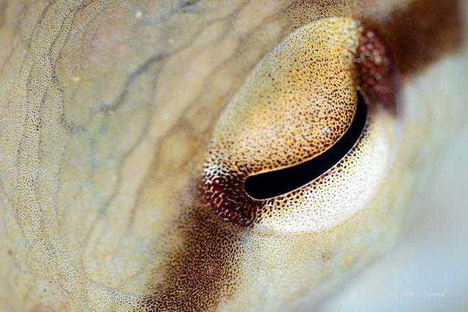 Auge in Auge mit dem Octopus  - die Annäherung dauerte 10 Minuten © Robert Hansen, Gozo Oktober 2015