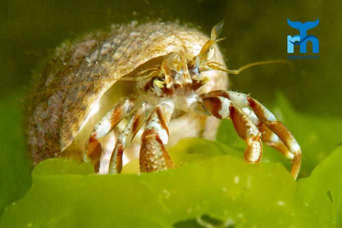 Pagurus bernhardus, common hermit crab, Einsiedlerkrebs: exponiert © Robert Hansen, Juli 2019