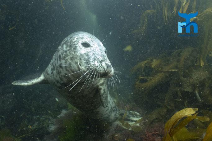 Halichoerus grypus, grey seal, Kegelrobbe: zwischen Furcht und Neugierde © Robert Hansen, Juli 2019