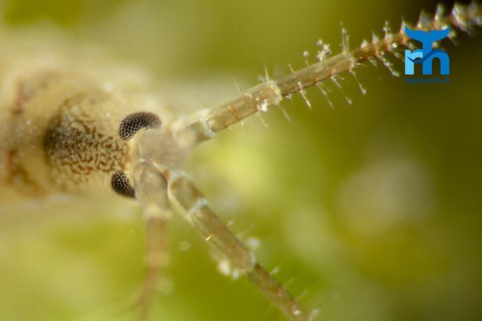 Auge in Auge mit dem Flohkrebs © Robert Hansen