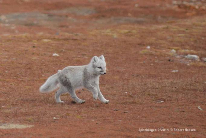 Fjellrev / Arctic Fox / Polarfuchs - Svalbard 9/2014 © Robert Hansen