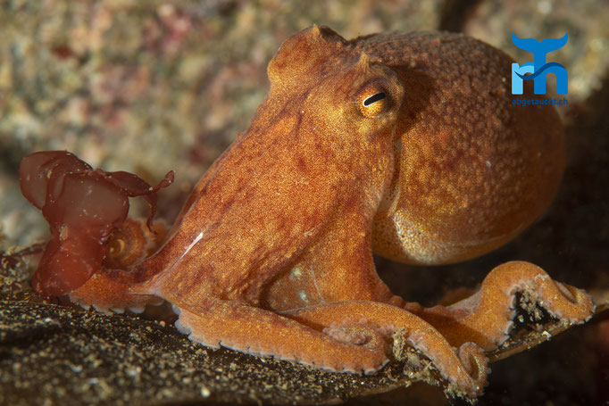 Eledone cirrhosa, curled octopus, Zirrenkrake: zwischen Neugierde und Respekt © Robert Hansen, Juli 2019