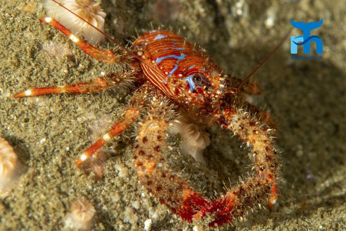Galathea strigosa, spiny squat lobster, bunter Furchenkrebs: exponiert auf dem Fels © Robert Hansen, Juli 2019
