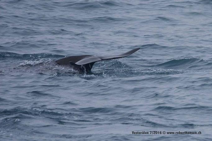 Zwei Pilotwale üben das Synchronschwimmen © Robert Hansen