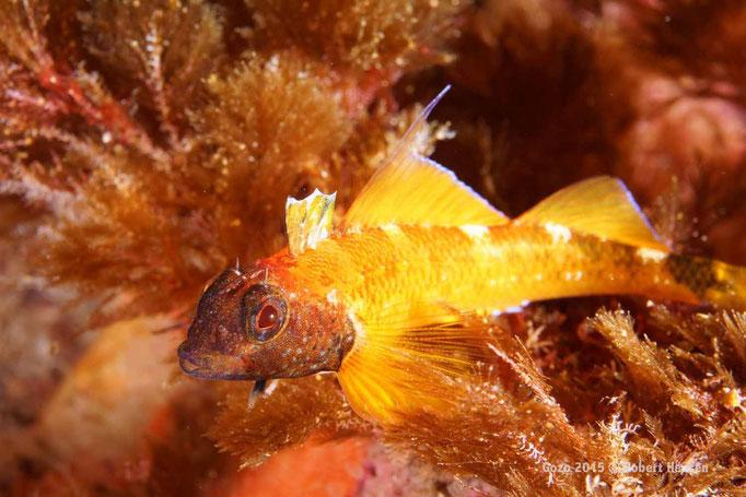 Gelber Spitzkopf-Schleimfisch. Wirbellose Kleintiere stehen auf dem Speiseplan. Das ältere Männchen ist nicht standorttreu. Hier in einer Tiefe von zwölf Metern. © Robert Hansen, Gozo 2015