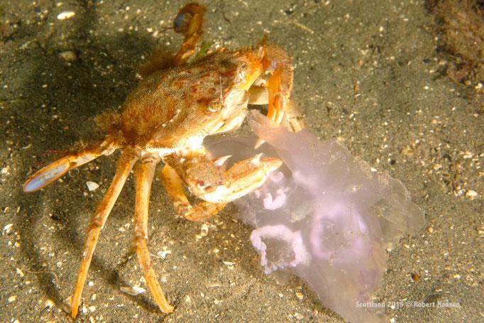 Im wahrsten Sinne des Wortes ein Ohrenschmaus. Krabbe mit Ohrenqualle © Robert Hansen