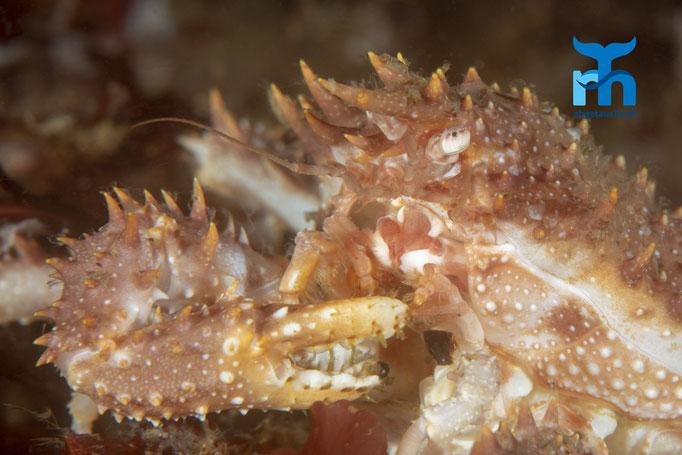 Maja squinado, spiny spider crab, grosse Meerspinne mit Stacheln bewehrt © Robert Hansen, Juli 2019