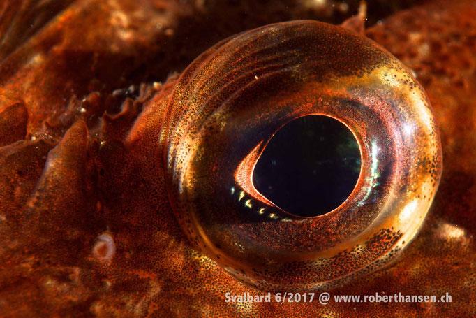 Auge des Seeskorpions © Robert Hansen