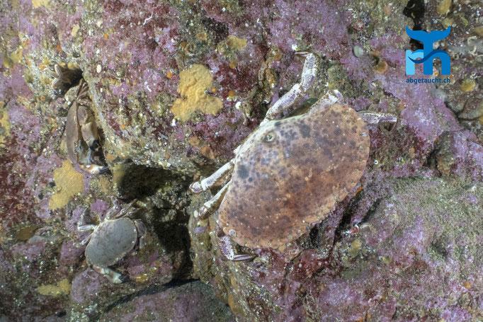 Cancer pagurus, edible crab, Taschenkrebs: Annäherung an der Steilwand © Robert Hansen, Juli 2019
