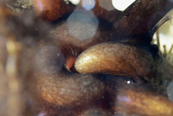 Alle zehn Sekunden geht ein neuer Arm in den Mund der Seeanemone. Das ganze Tier ist gut 15 Zentimeter gross. © Robert Hansen, Ballstad, April 2014