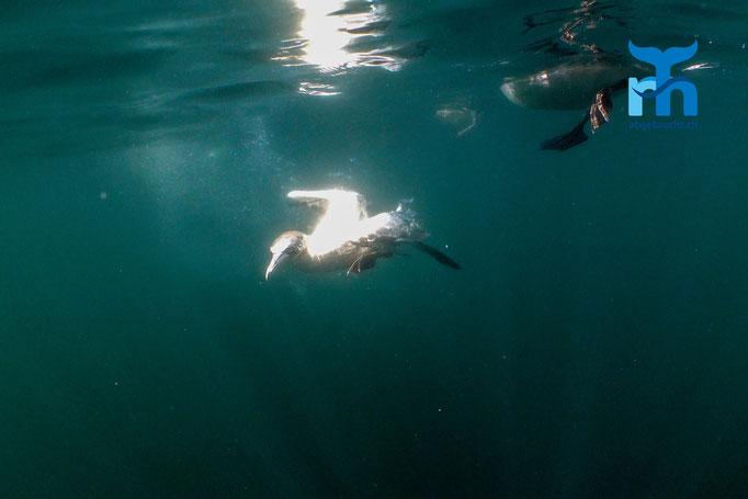 Morus bassanus, northern gannet, Basstölpel: tauchend unterwegs © Robert Hansen, Juli 2019