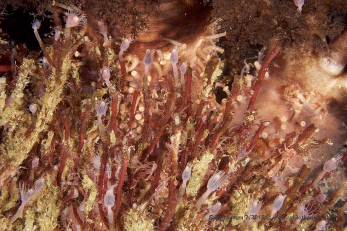 Kolonie von Blumenpolypen (tubularia indivisa)  © Robert Hansen