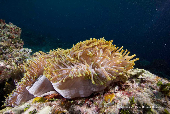 Anemonententakel - Malediven 2015 © Robert Hansen