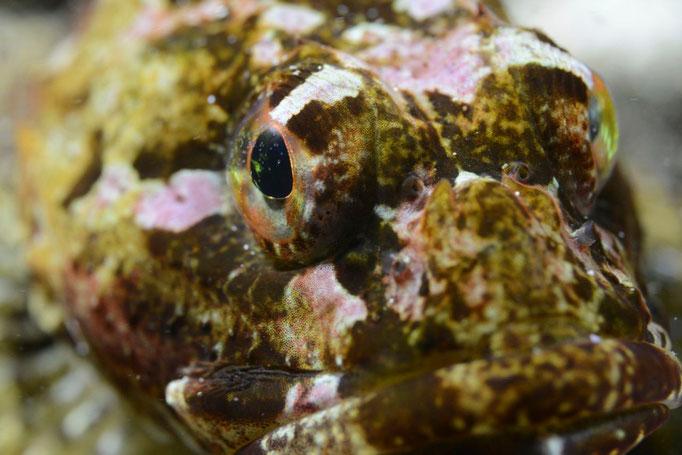 Gut getarnter Skorpionfisch. © Robert Hansen, Ballstad, April 2014