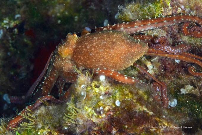 Nur nachts unterwegs: ein roter Octopus  © Robert Hansen, Gozo Oktober 2015