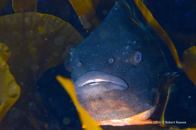 Rognkjeks - Lumpfish - Seehase (male) © Robert Hansen