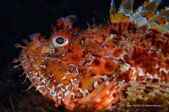 Skorpionfisch wartet auf Beute © Robert Hansen, Gozo Oktober 2015
