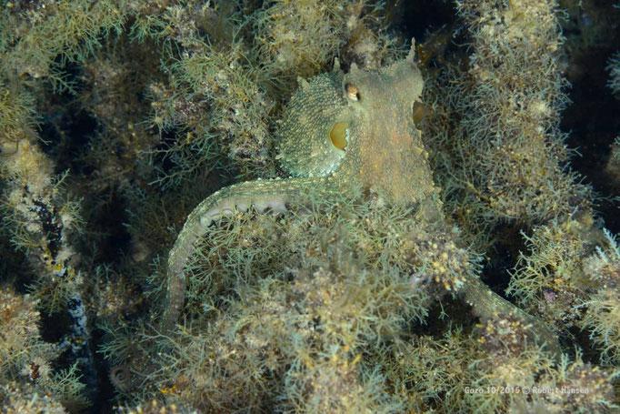 Der Oktopus passt sich im Neptunsgras perfekt an © Robert Hansen, Gozo Oktober 2015