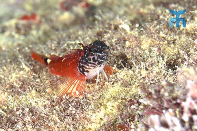 Zwergspitzkopf-Schleimfisch (Tripterygion melanunus) in der Grotte © Robert Hansen