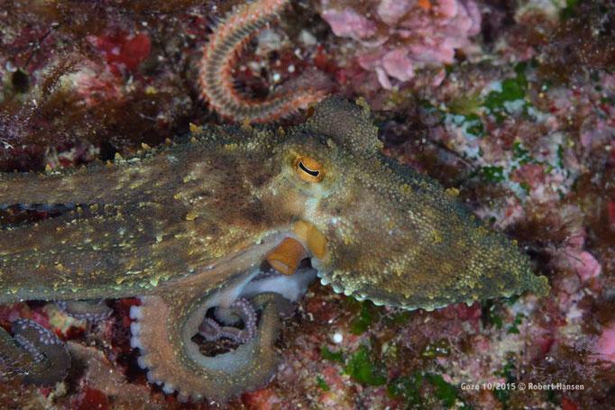 Der Oktopus setzt zur Flucht an © Robert Hansen, Gozo Oktober 2015