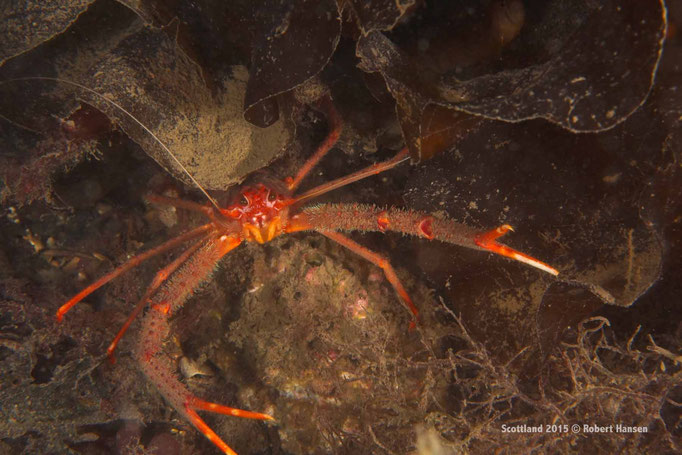 Angriffslustige Krabbe © Robert Hansen