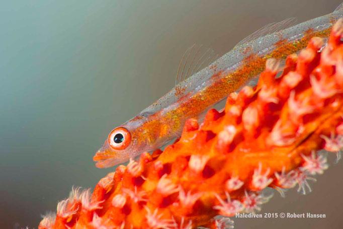 Schleimfisch auf einer Peitschenkoralle - Malediven 2015 © Robert Hansen