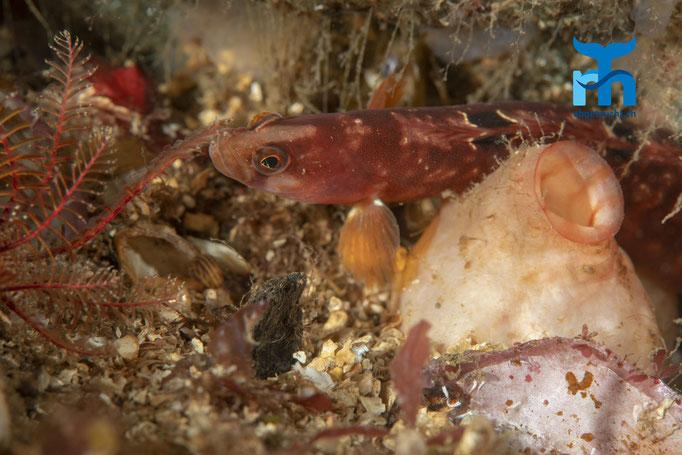 Pholis gunnellus, butterfish, atlantischer Butterfisch: farbenfroh und gut getarnt © Robert Hansen, Juli 2019